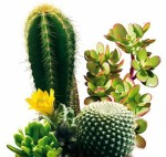 Cacti and succulents - planting and care