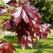 Red maple leaves (Acer platanoides Crimson King)