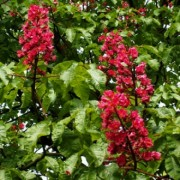 Red flowers chestnut (Aesculus meat briotii)